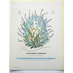 Ancienne publicité originale couleur Lavande de Yardley  Illustration de Bravura 1951