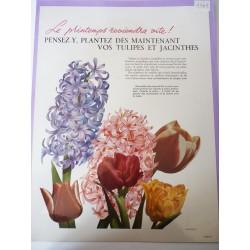 Ancienne publicité originale couleur pour les fleurs de Hollande 1949